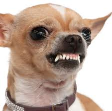 https://www.investorwize.com/wp-content/uploads/2015/10/mean-chihuahua.jpeg